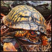 Eastern box turtle seen along the Red Trail at the Black Run Preserve in late October, 2013